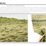 Algae: Cladophora