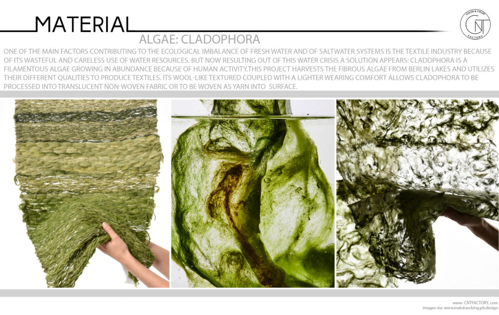 Algae Cladophora